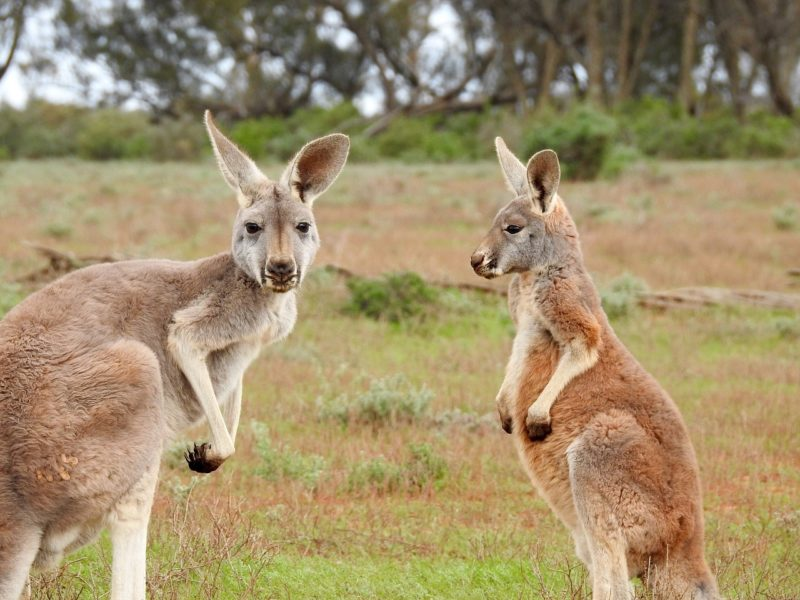 Two Kangaroos In Australia